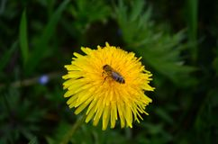 Beautiful yellow dandelion and honey bee in a green field royalty free stock images