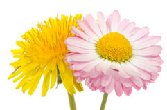 Beautiful Yellow Dandelion and Pink Daisy Flower. A beautiful yellow dandelion (taraxacum officinale) and pink daisy (bellis perennis) flowers on a white Stock Photography