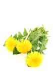 Beautiful yellow Dandelions Royalty Free Stock Images