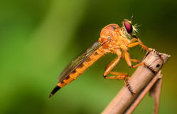 Beautiful Yellow dragonfly macro focus Royalty Free Stock Images