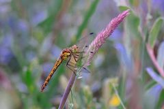 A beautiful yellow dragonfly on a purplish blade of grass stock images