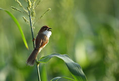 Beautiful yellow eyed babbler. Yellow eyed babbler is passerine bird found in open grass and scrubs Stock Photography