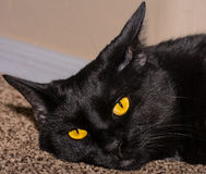 Beautiful Yellow Eyed Black Cat Stock Photography