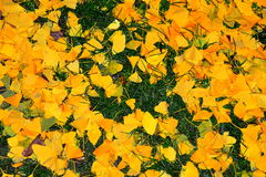 Beautiful yellow falling leaves cover Royalty Free Stock Images