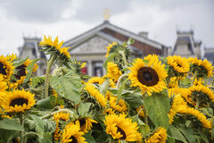 The beautiful yellow fence made of sunflowers near museum Royalty Free Stock Image