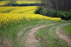 Beautiful yellow field of rapeseed with dirt road. Selective focus royalty free stock photos