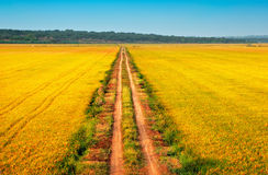 Beautiful yellow fields with a blue sky Royalty Free Stock Photo