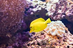 Yellow Fish. A beautiful yellow fish in auqarium Royalty Free Stock Images