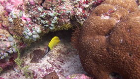 Beautiful yellow fish on background red corals underwater in sea of Maldives. stock video footage