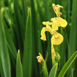 Yellow flag water iris pseudacorus. A beautiful yellow flag iris pseudacorus aka water flag iris in the spring time with selective focus on the single bloom and royalty free stock photos