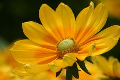 Beautiful Yellow Flower. Macro of a yellow flower Royalty Free Stock Image