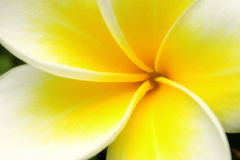 Beautiful Yellow Flower Stock Image