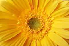 Beautiful yellow flower Royalty Free Stock Photos