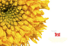 Beautiful yellow flower (African marigolds, Tagetes) Royalty Free Stock Image