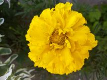 Beautiful yellow flower. Background yellow flower Stock Images