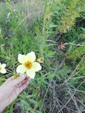 Beautiful yellow flower. That grows on the banks of the river stock photos