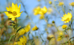 Beautiful yellow flower with bee Stock Photography