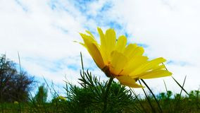 Beautiful yellow flower. Beautiful yellow flower on blue sky background Royalty Free Stock Photography