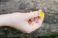 Beautiful yellow flower (buttercup) Royalty Free Stock Photo