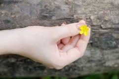 Beautiful yellow flower (buttercup) Royalty Free Stock Photo