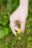 Beautiful yellow flower (buttercup) Royalty Free Stock Photos