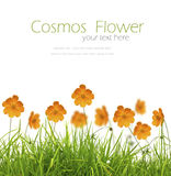 Beautiful yellow flower (Cosmos) and fresh spring green grass Stock Photo