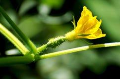 Cucumber Flower. Beautiful Yellow flower of cucumber Stock Photos