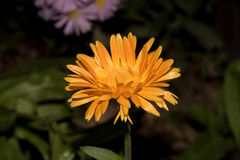 Beautiful Yellow flower on the dark fon closeup. Stock Photos
