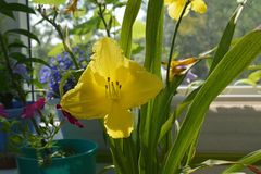 Beautiful yellow flower of daylily in cozy small garden on the balcony.  stock image