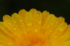 Beautiful Yellow Flower with Dew Drops Stock Photos