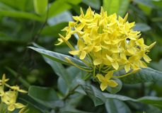 Yellow asian flower Royalty Free Stock Images