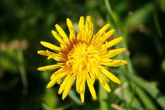 Beautiful yellow flower in the garden. natural background of green leaves of grass. Dandelion. Stock Photography