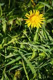 Beautiful yellow flower in the garden. natural background of green leaves of grass. Dandelion. Stock Photos