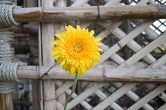 Beautiful yellow flower gerbera close-up Stock Images
