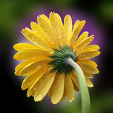 Beautiful yellow flower. Beautiful yellow gerbera on multicolor background Royalty Free Stock Images