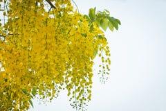Beautiful yellow flower Golden shower Stock Photography