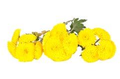 Beautiful yellow flower isolated. On white Stock Image