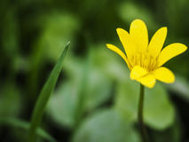 Beautiful yellow flower macro Stock Photography