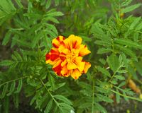 ..beautiful yellow flower. marigold. flowers for the garden royalty free stock photo