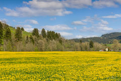 Beautiful yellow flower meadow and a ranch house in distance. Stock Photo