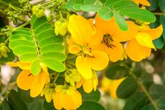 Beautiful yellow flower from the nature. With green leaf on Cairo Egypt Stock Photography