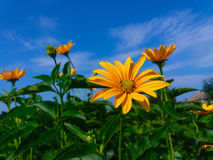 A beautiful yellow flower. But not a Jerusalem artichoke Stock Photo