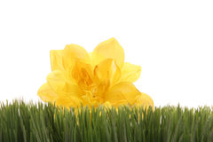 Beautiful yellow flower peeking behind green grass. Beautiful yellow color flower peeking behind green grass - isolated on white background with copyspace Stock Images
