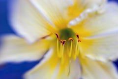 Beautiful yellow flower petals closeup -depth of f Royalty Free Stock Photos