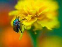 Beautiful yellow flower petals closeup -depth of f Royalty Free Stock Image