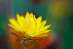 Beautiful yellow flower petals closeup -depth of f Stock Image