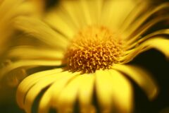 Beautiful yellow flower petals macrophotography.