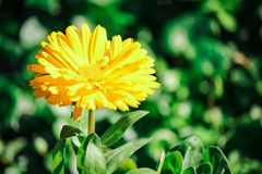 Beautiful yellow flower. Picture of beautiful blossom yellow flower at spring in osaka japan royalty free stock photo