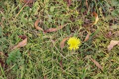Beautiful yellow dandelion sprouting from grass stock photography