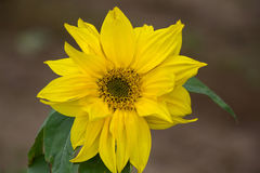 Beautiful yellow flower of a sunflower bloomed in a field stock photo